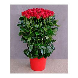 Flowers:  60 Red Roses in Pot (Mad About You)