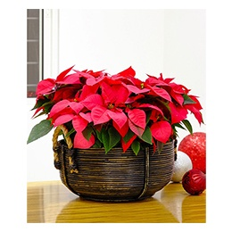 Christmas Poinsettia: Holiday Traditions