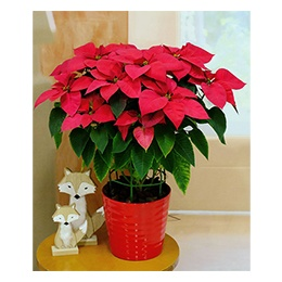 Christmas Poinsettia: Large Charming